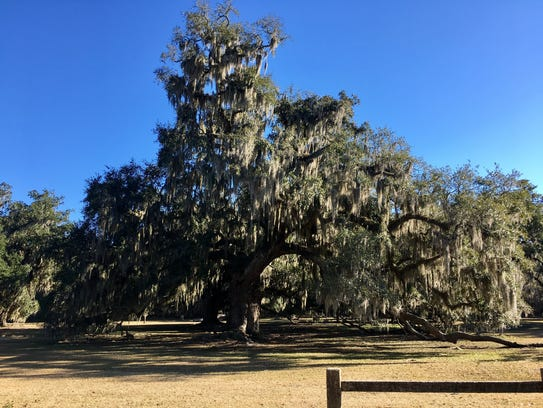 Giant oaks dripping with Spanish moss can be found