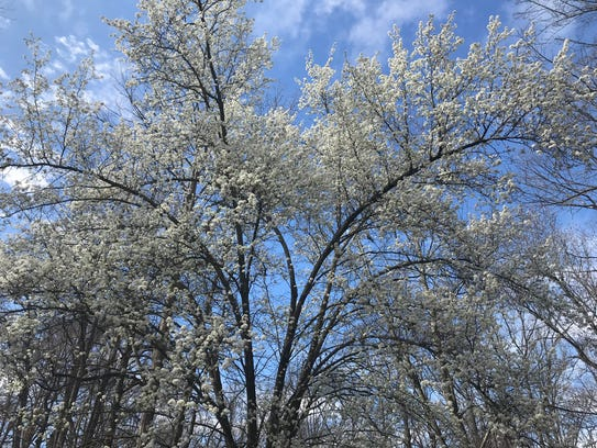 The evil branches of a Bradford pear tree spread across