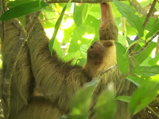 Tom White of Grand Ledge captured a photo of a sloth