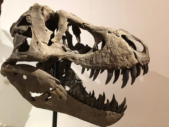 A T. rex skull is on display at the UW Geology Museum.