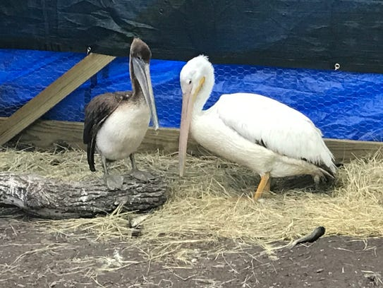 The Rockport-Fulton Wings Rescue Center specializes