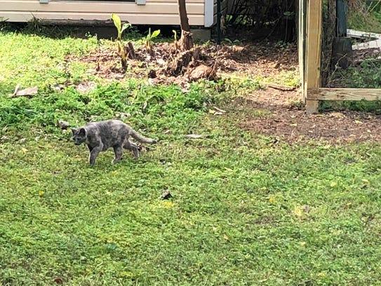 A feral cat treks through a property off Mahan Road.