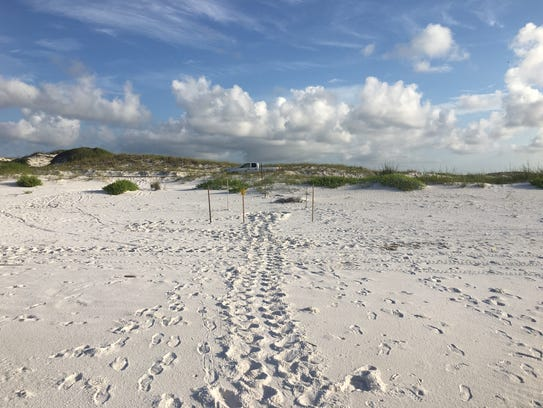 Biologists located the first sea turtle nest of the