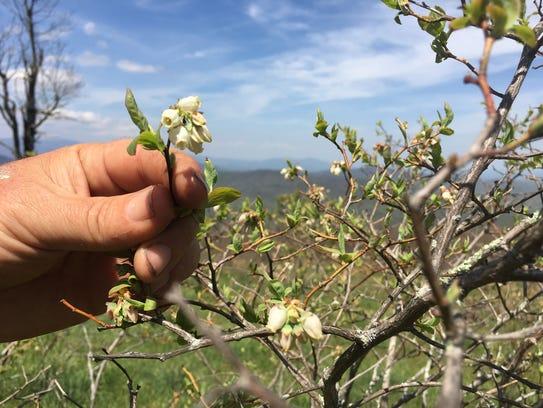 The blueberry bushes at Imladris Farms' mountain-top