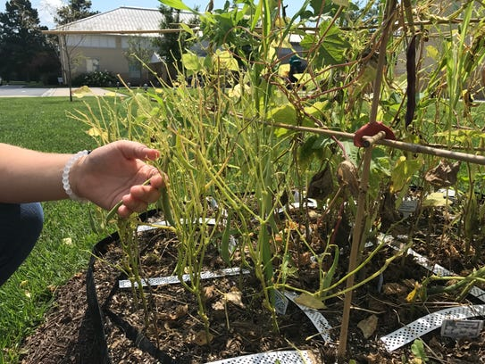Betsie Cottrell checks on a bean plant growing in Wor-Wic