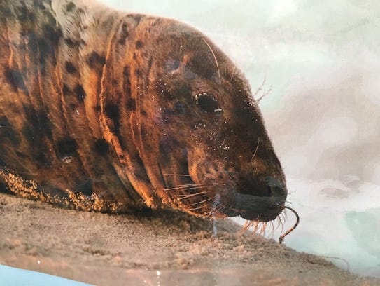 This seal, found two years ago at Island Beach State