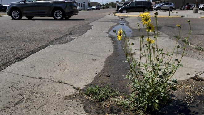 A motorist makes their way through the Fifth and Chestnut Streets intersection Thursday, past a sunflower plant blooming. The plant, growing in the gutter of the street, provides a splash of color to the asphalt.