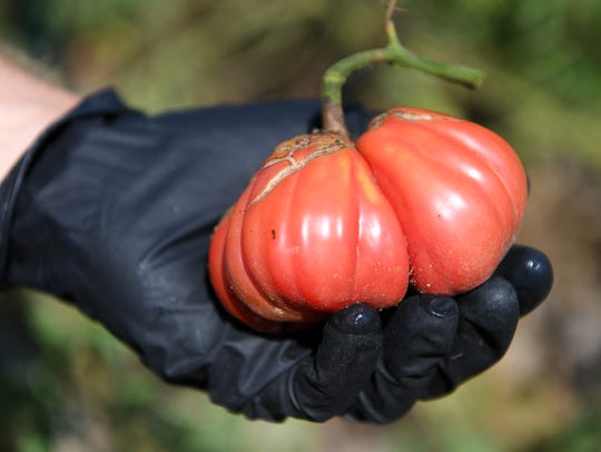 Michael Rayburn holds a Zapotec Pleated Tomato he grew