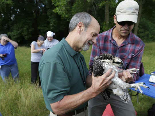 "WE Energies employee Walter ""Doc"" Musekamp (left) holds an osprey chick as it is banded by volunteer Don Baumgartner Tuesday in New London. Baumgartner is a volunteer with The Feather Rehabilitation Center."
