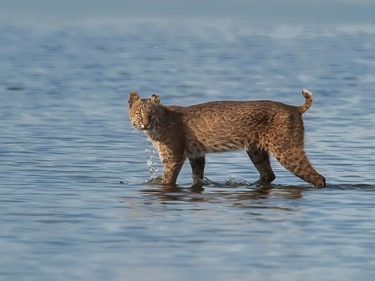 Orlando photographer Ken Blye saw a bobcat crossing water along Black Point Drive at the Merritt Island National Wildlife Refuge in 2014.