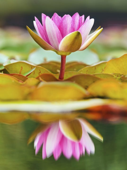 SNL REAL Water Lily.jpg