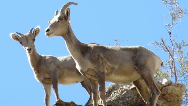 Ewe and lamb high above Rancho Mirage