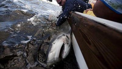 Bob Hueter of Mote Marine Laboratory tags a bull shark in Boca Grande Pass. According to Hueter, recent shark attacks in North Carolina don't mean people are at increased risk from sharks in Southwest Florida.