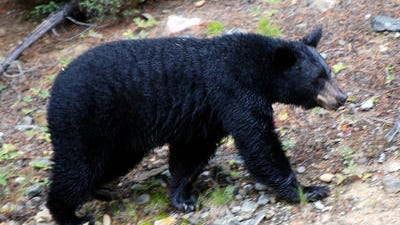 This file photo shows a black bear searching for food. Police say a black bear attacked and killed an Edison man while he was hiking with friends at a North Jersey preserve.
