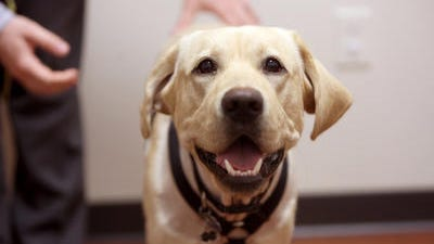 Buck-O made the trip from California for life-saving surgery from Dr. Kathy Wright in Fairfax. She's the only veterinarian in the country – and one of only two in the world – specializing in the operation the Labrador needed.