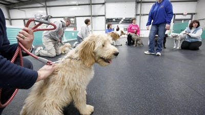 Bentley, a goldendoodle, listens to instruction during Puppy Class at the Queen City Dog Training Club, in Sharonville, on January 18, 2012. The puppy class is designed to teach the dogs about socialization with humans as well as other dogs. Some basic training skills are also introduced.
