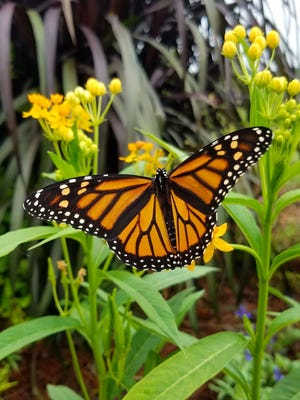 A monarch butterfly refueling on nectar as it continues migration to Mexico.
