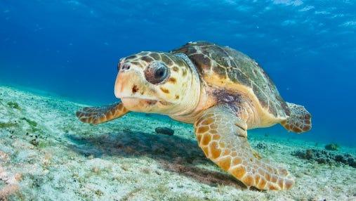 A loggerhead sea turtle rests on the sea floor.