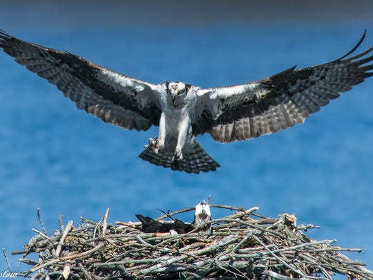 Jane, an osprey who nests at Kensington Metropark every