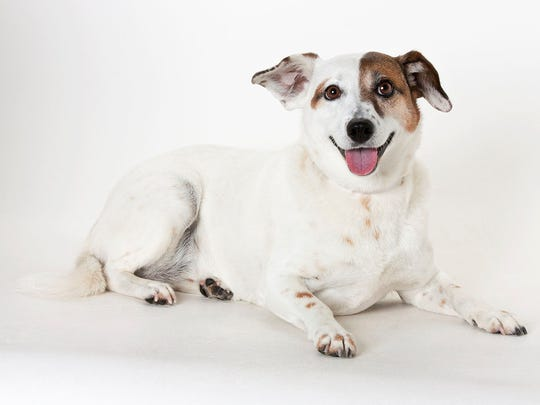 Kacey, 6-year-old female terrier mix dog. No. 99061.