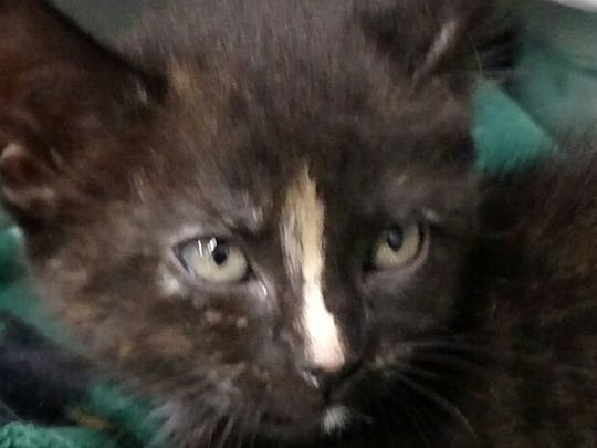 This 3 month old black and gold tortoiseshell domestic short hair female cat was found in the 1500 block of Jefferson. Her adoption fee is $115.00 plus tax. For more information about adopting a Pet of the Week or other furry friends visit Alamogordo Animal Control, 2910 N. Florida Ave., Monday through Saturday between noon and 5 p.m. or contact them at 439-4330.