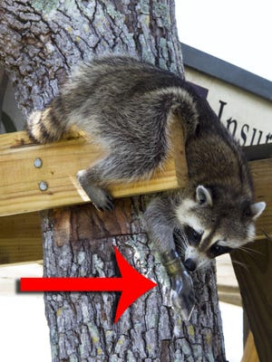 The mother raccoon was photographed stuck in the broken bottle in an Isles of Capri backyard.