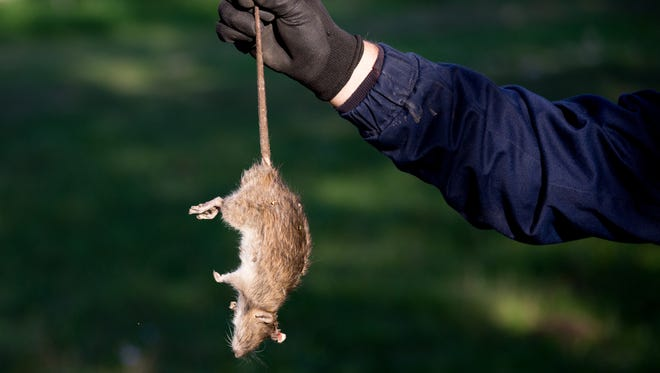 Farmer with protective gloves holding dead rat for tail on farm.
