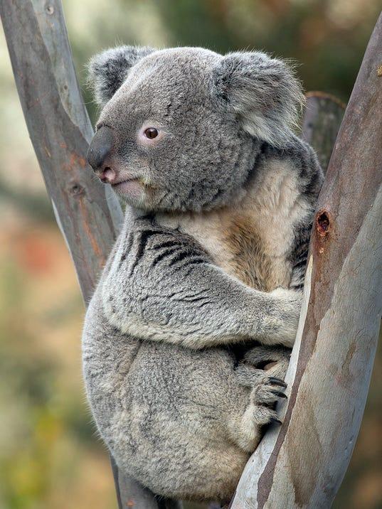 636591569230336822-Koala-Thackory-1-credit-San-Diego-Zoo.jpg