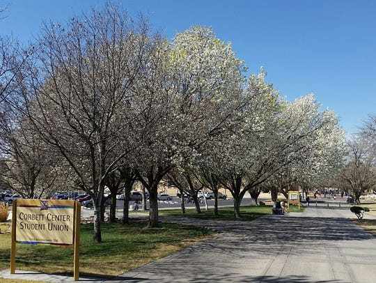 Trees are seen in bloom on the campus of New Mexico