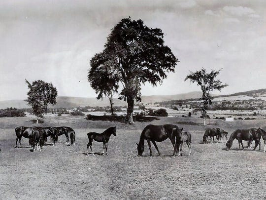 Broodmares and foals grazing in the southern fields, believed to be facing Chipman Hill, Middlebury which is in the upper right corner of picture. Exact date is unknown.