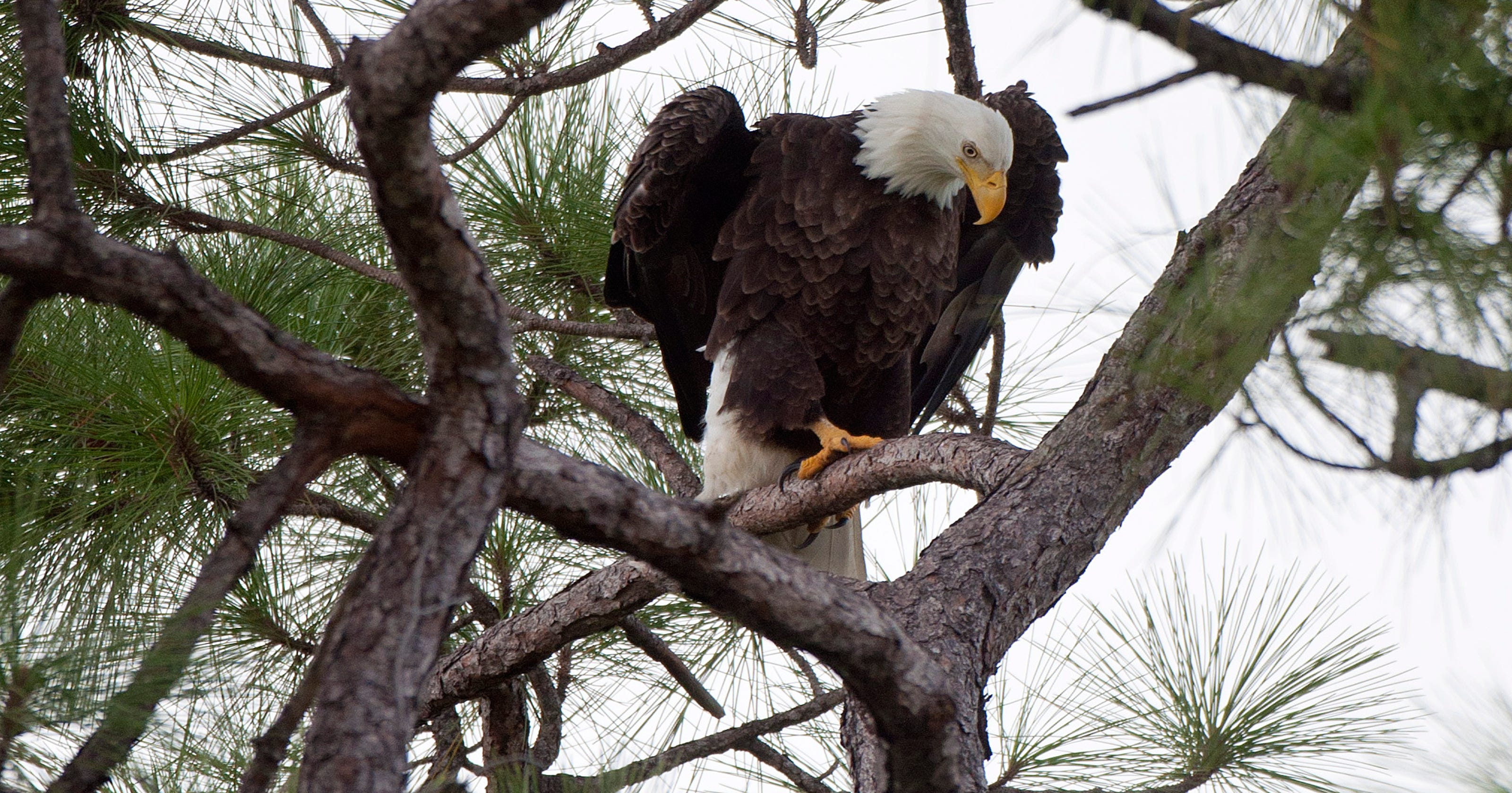 Bald Eagle Nesting Gains Ground In Geia