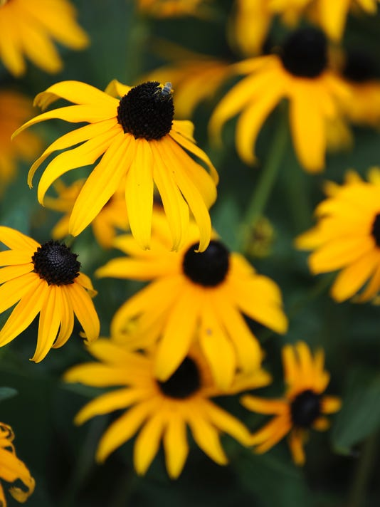 Black Eyed Susan and a Small Spider