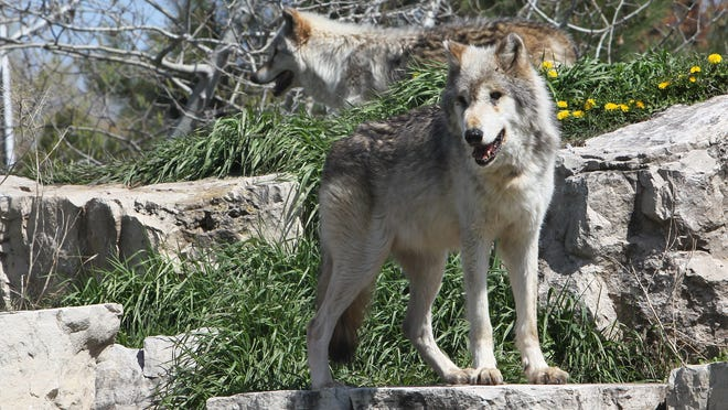 Menominee Park Zoo had two gray wolves in 2012.