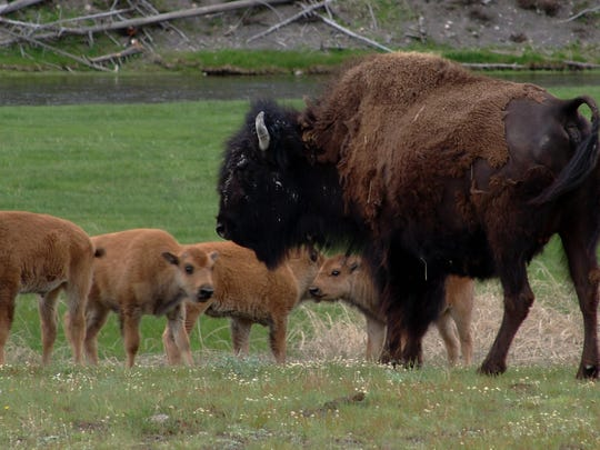 A group of bison calves gather to nurse.