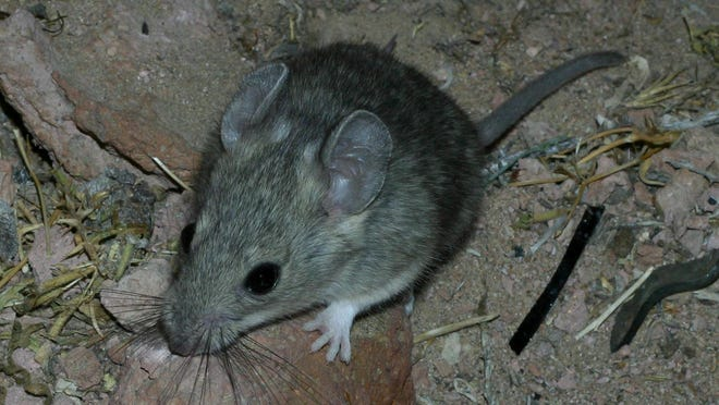 This desert woodrat has a lot to keep itself busy with.
