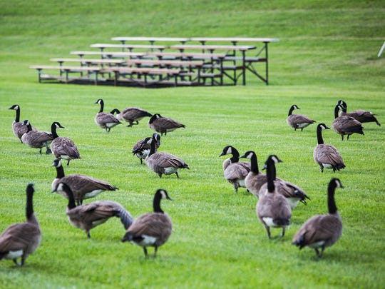Canada Geese invade Central's practice field near the
