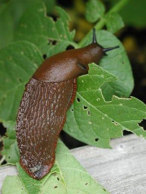 An exotic species of slug, Arion rufus