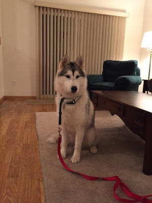 Police are seeking the public's help in finding Kodi, a Siberian Husky that was stolen Monday from a Kroger Store parking lot in Bloomfield Township.