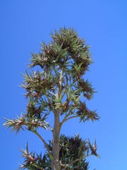 The Agave desmettiana bloom stalk after flowers dropped off and bulbils are flourishing just before falling to the ground.