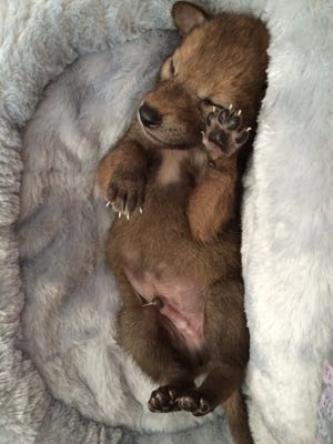 Stormy the coyote pup.