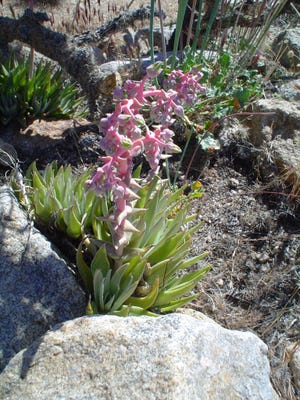 Wild dudleya in a garden after a wet winter shows the pink tinted flower head.