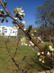 The trees from the Trees of 40 Fruits project in New Harmony are already yielding some blossoms
