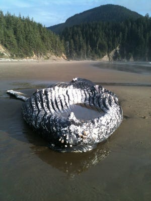 The body of a dead whale has returned to the Oregon Coast.