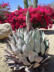 Agave parryi is blooming without a single offset showing how clean looking they are at the end of life.