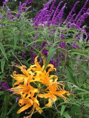 Golden hurricane lily and Mexican bush sage.