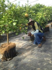 Jean-Yves Bérisse examines young citrus trees.