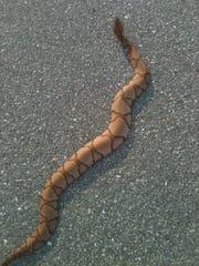 A copperhead warms itself on a road near Fellows Lake.