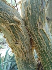 The yellow peeling, paper-like bark gives Bursera trees much to appreciate at eye level.