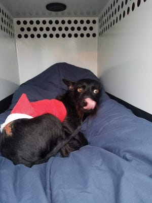 The dog Little Tim was found June 6 at a Simi Valley park with third-degree burns along his back.
