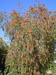 This big old weeping bottlebrush was found in the Ruth Hardy Park neighborhood of Palm Springs.